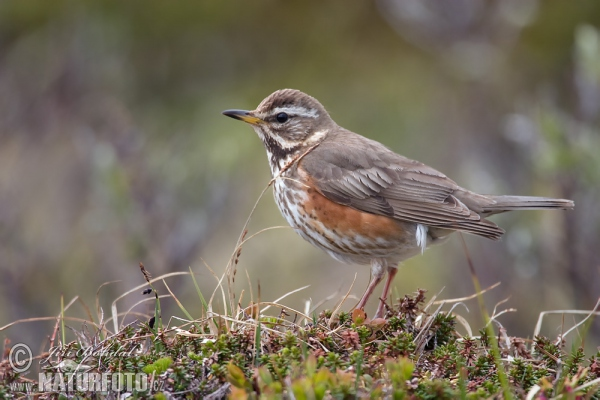 Red Wing (Turdus iliacus)