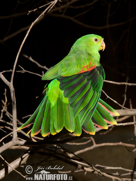 Red-winged Parrot (Aprosmictus erythropterus)