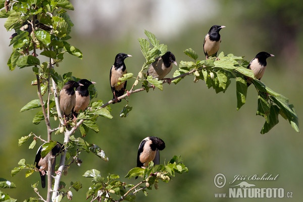 Rose-coloured Starling (Pastor roseus)