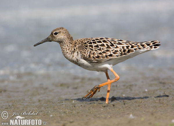 Ruff Pictures, Ruff Images | NaturePhoto