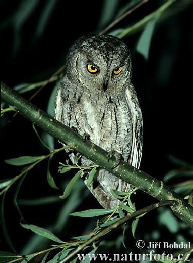 Scops Owl (Otus scops)