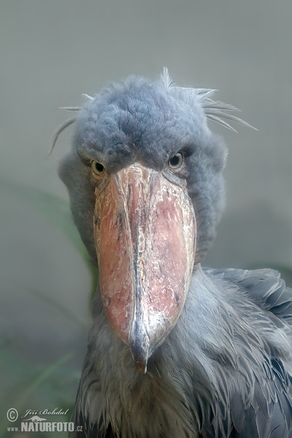 Shoebill, Whale-haeded Stork (Balaeniceps rex)