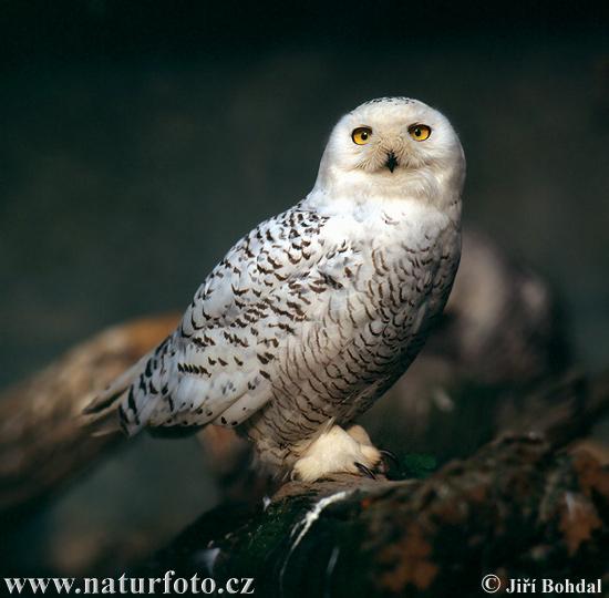 Snowy owl cramlington - 4f