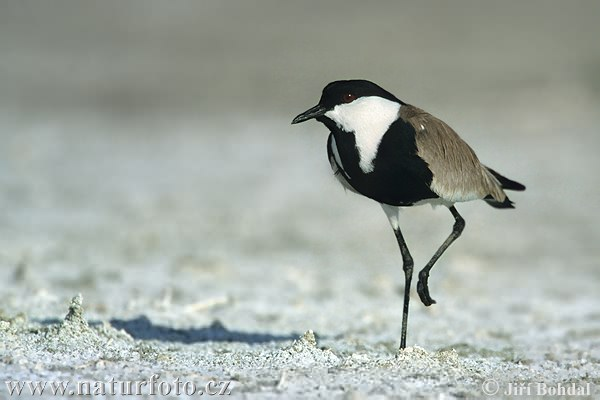 Spur-winged Plover Photos, Spur-winged Plover Images | Photobank ...