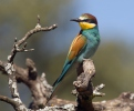 Bee-eater