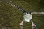 Black-throated Diver