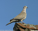 Collared Dove