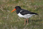 Common Oystercatcher