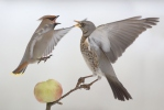 Fieldfare and Bohemian Waxwing