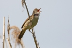 Great Reed Warbler