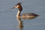 Grebes (Podicipediformes)