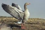 Greyland Goose