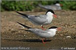 Gulls, Terns and Skuas (Lariformes )