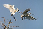Herons and Allies (Ciconiiformes)