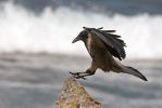 Hooded Crow