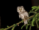 Owls (Strigiformes)