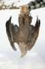 Poisoned White-tailed Eagle
