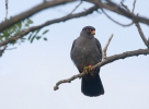 Red-footed Kestrel