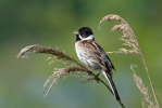 Reed Bunting