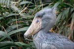 Shoebill, Whale-haeded Stork