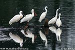 Spoonbills and Little Egrets