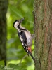 Syrian Woodpecker