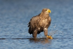 White-tailed Eagle