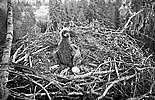 White-tailed Eagle - Nest