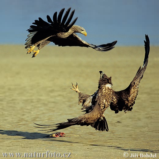 White-tailed Eagle (Haliaeetus albicilla)