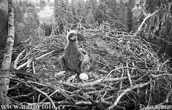 White-tailed Eagle - Nest (Haliaeetus albicilla)