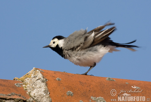 White Wagtail (Motac