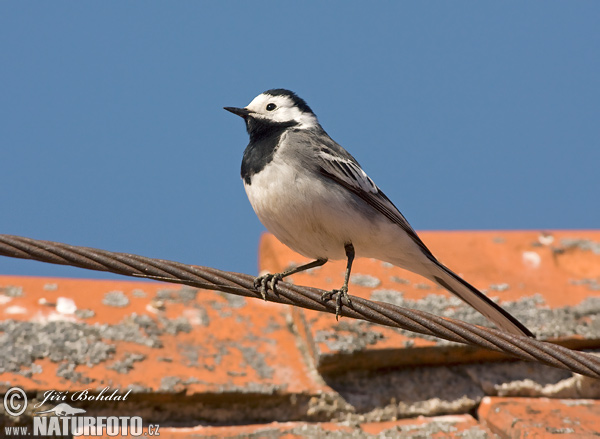White Wagtail (Motacill
