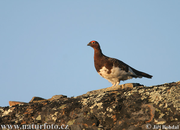 Willow Grouse (Lagopus lagopus)