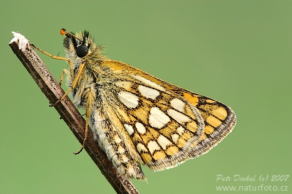 Chequered Skipper (Carterocephalus palaemon)