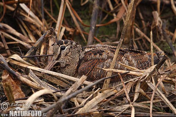 Woodcock Scolopax Rusticola