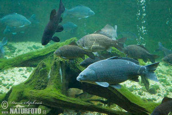آشنایی با راهکارهای صید ماهی کپور