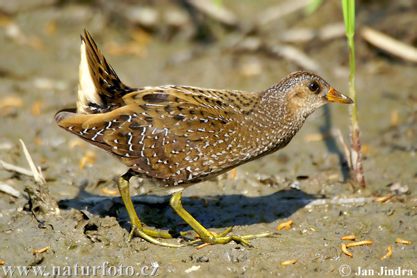 Spotted Crake Pictures, Spotted Crake Images | NaturePhoto