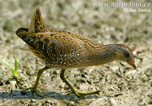 Spotted Crake Photos, Spotted Crake Images, Nature ...