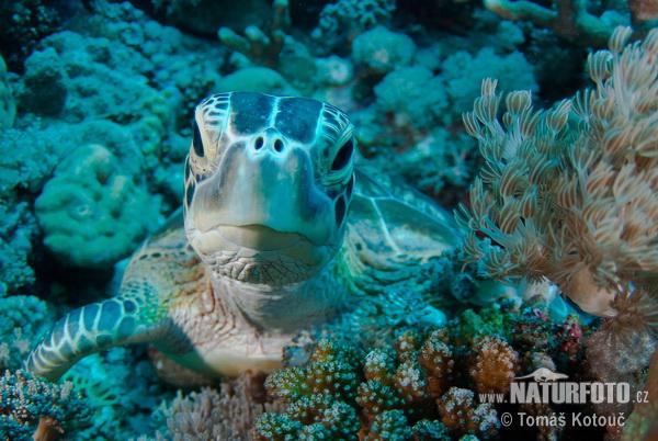 アオウミガメの画像 p1_18