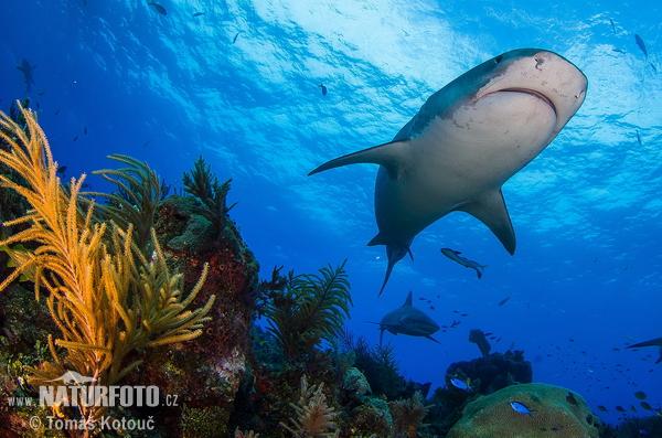 イタチザメの画像 p1_11