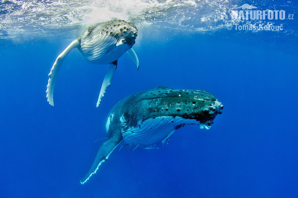 ザトウクジラの画像 p1_19