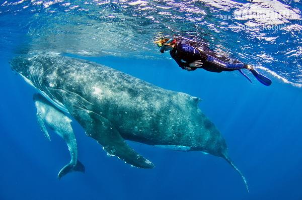 ザトウクジラの画像 p1_18