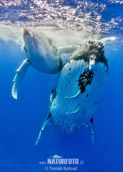 ザトウクジラの画像 p1_4