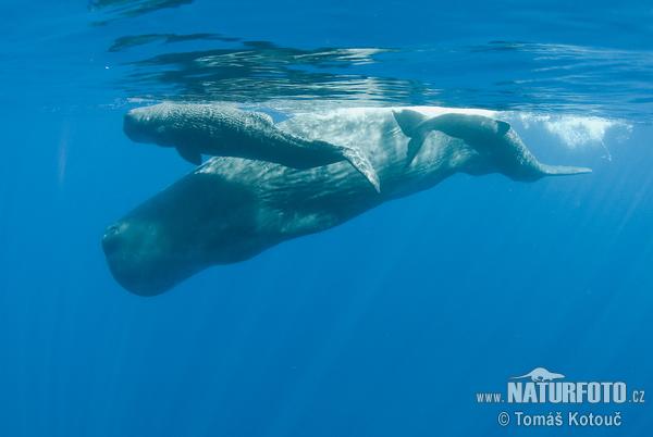 マッコウクジラの画像 p1_1