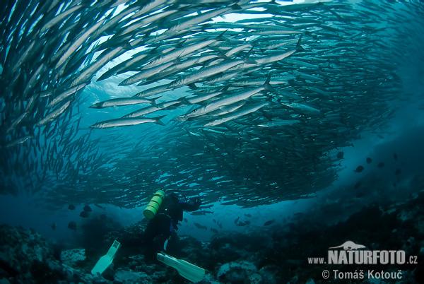 梭子魚 照片,圖片