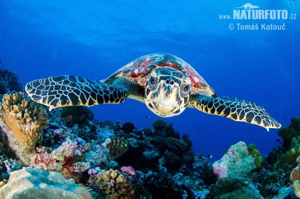 Atlantic Hawksbill Turtle Photos, Atlantic Hawksbill ...