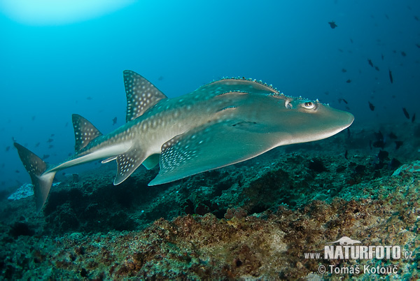 Browmouth Guitarfish (Rhina ancylostoma)