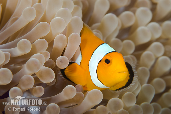 Clownfish (Amphiprion sp.)
