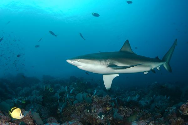 Download image galapagos shark pc android iphone and ipad