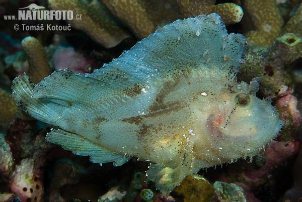 leaf scorpionfish - photo #2